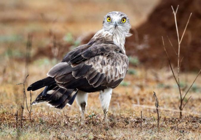 Short-toed Snake Eagle by Gururaj Moorching - La Paz Group