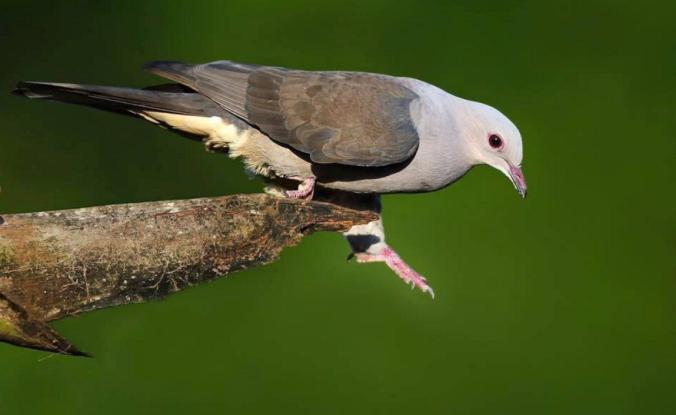 Mountain Imperial Pigeon by Gururaj Moorching - La Paz Group