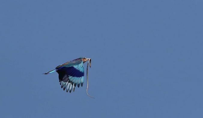 Indian Roller by Gururaj Moorching - La Paz Group