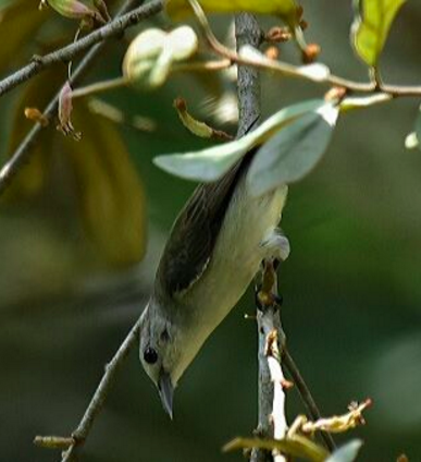 Nilgiri Flowerpecker by Vijaykumar Thondaman - La Paz Group