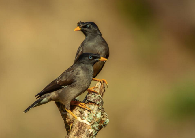 Jungle Mynas by Ramesh Desai - La Paz Group