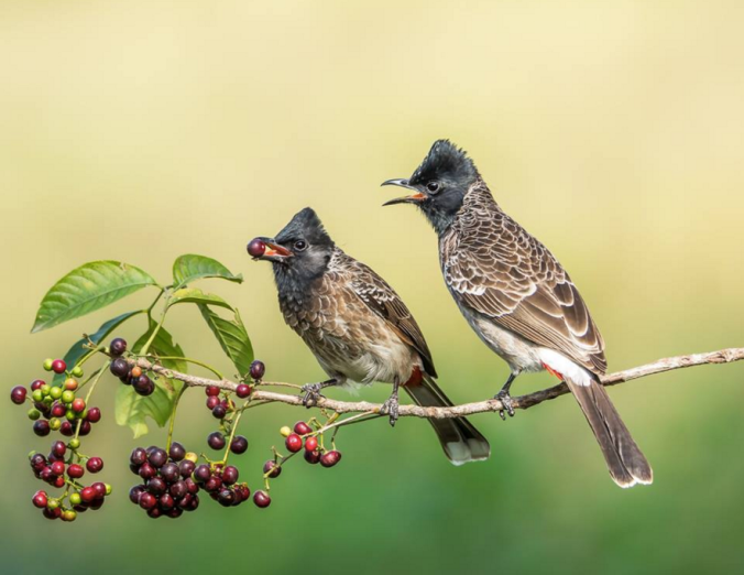 Red-vented Bulbuls by Ramesh Desai - La Paz Group