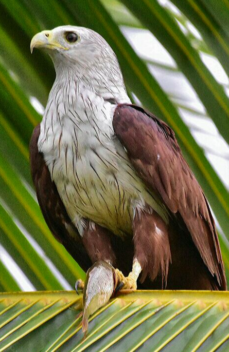 Brahminy Kite by Vijaykumar Thondaman - La Paz Group