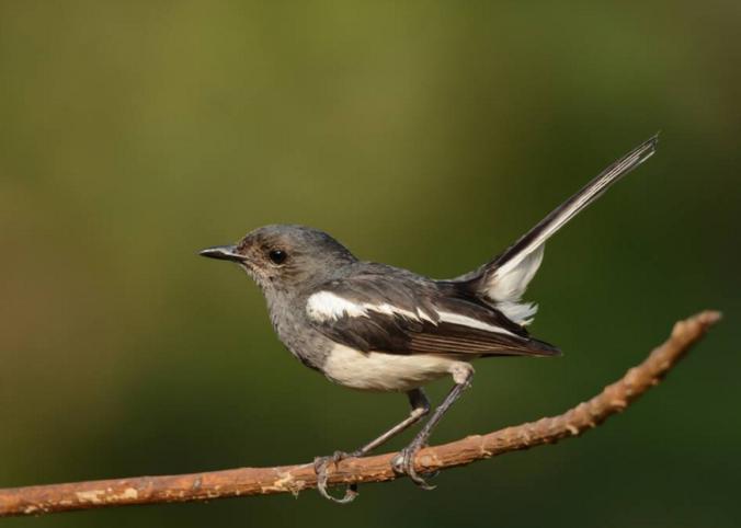 Oriental Magpie-Robin by Ramesh Desai - La Paz Group