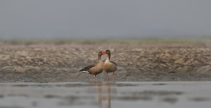 Greylag Geese by Gururaj Moorching - La Paz Group