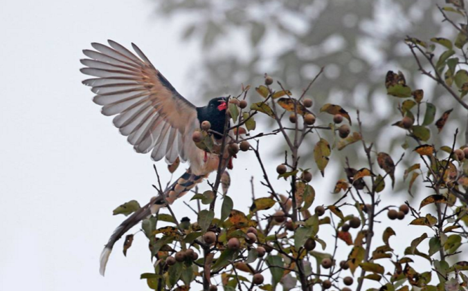 Red-Billed Blue Magpie by Gururaj Moorching - La Paz Group