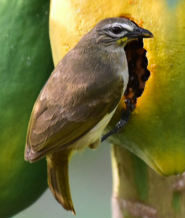 White-browed Bulbul by Vijaykumar Thondaman - La Paz Group