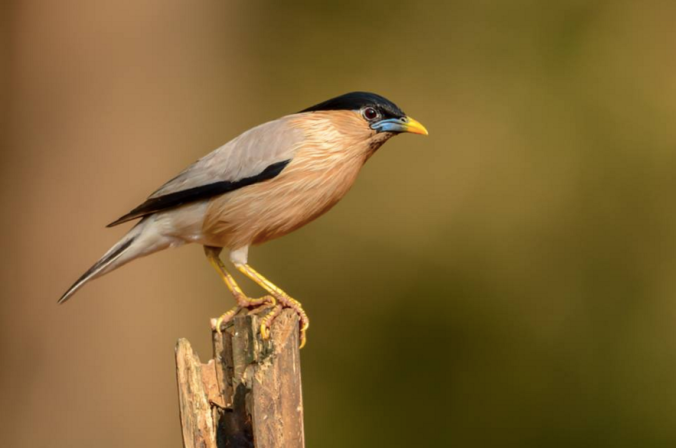 Brahminy Starling by Ramesh Desai - La Paz Group