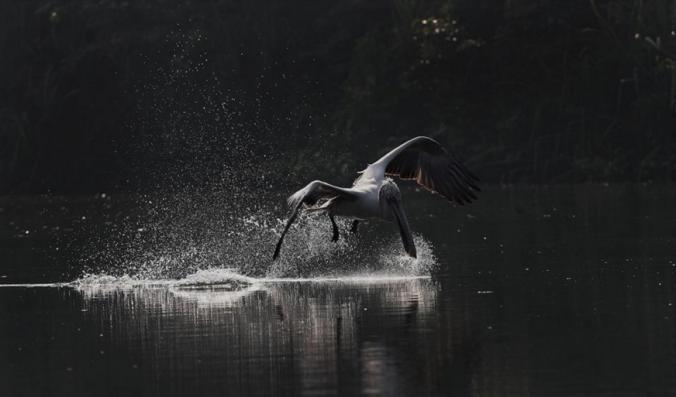 Spot-billed Pelican by Gururaj Moorching - La Paz Group