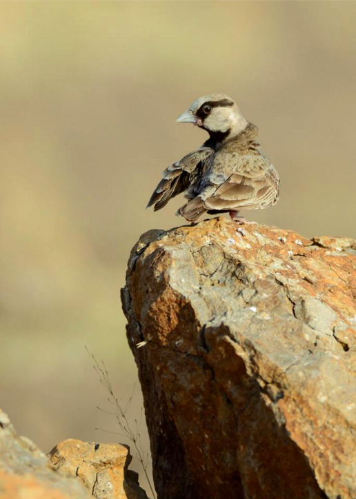Ashy-crowned Sparrow-Lark by Ramesh Desai - La Paz Group