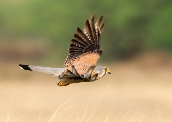 Common Kestrel by Ramesh Desai - La Paz Group