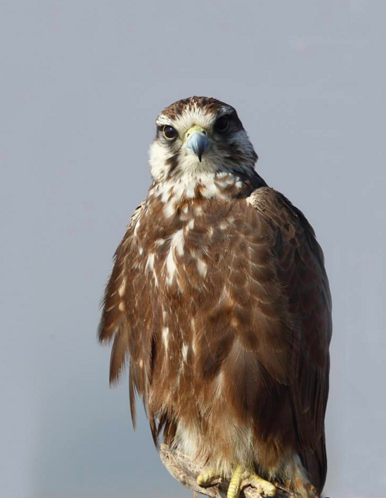 Laggar Falcon by Gururaj Moorching - La Paz Group
