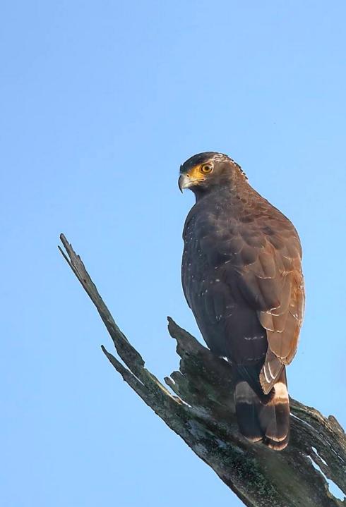 Andaman Serpent Eagle by Gururaj Moorching - La Paz Group