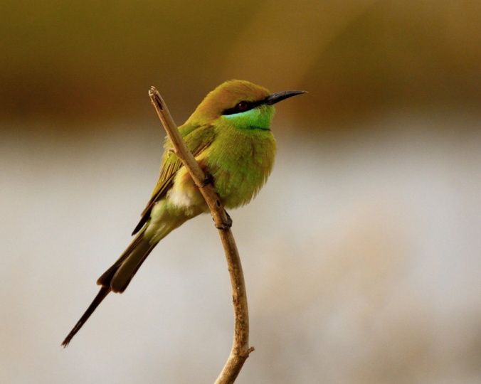 Green Bee-eater by Ramesh Desai - La Paz Group