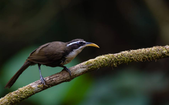 Indian Scimitar-Babbler by Ramesh Desai - La Paz Group