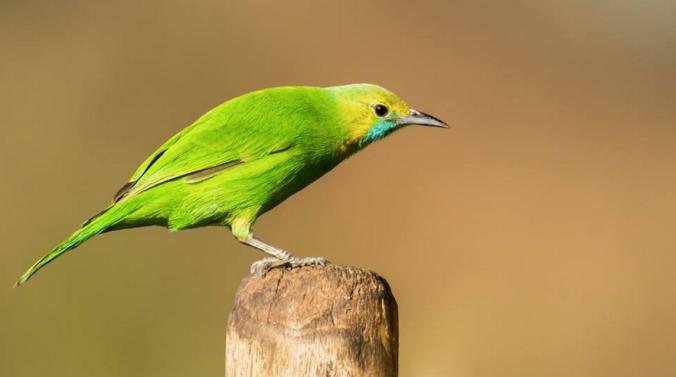Jerdon's Leafbird - Female by Ramesh Desai - La Paz Group