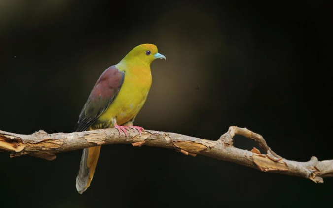 Wedge-tailed Green Pigeon by Gururaj Moorching - La Paz Group