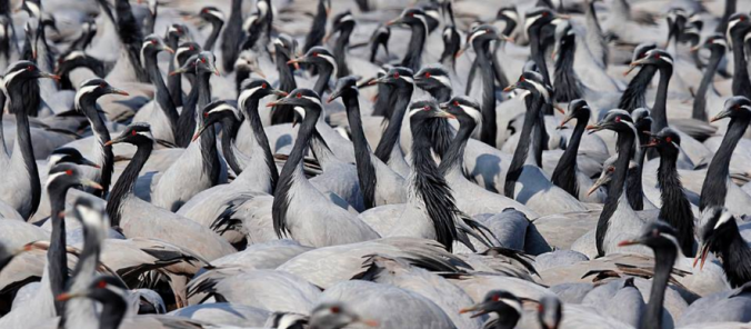 Demoiselle Cranes by Gururaj Moorching - La Paz Group