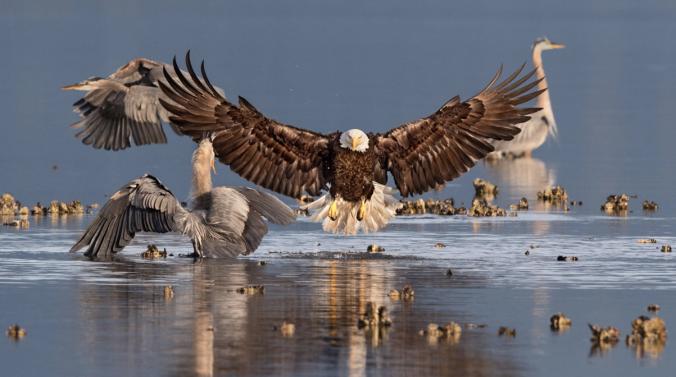 Bald Eagle and Great Blue Herons. Photo: Bonnie Block/Audubon Photography Awards