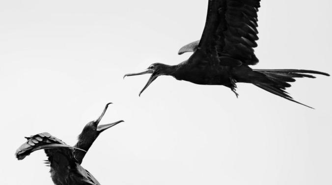 Great Frigatebirds. Photo: Carolina Anne Fraser/Audubon Photography Awards