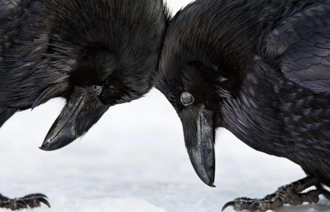 Common Ravens. Photo: Colleen Gara/Audubon Photography Awards