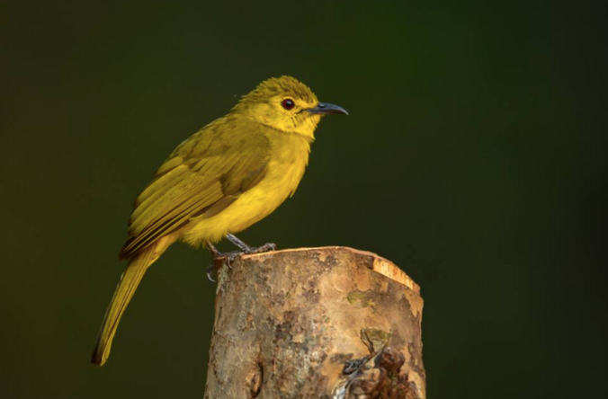 Yellow-browed Bulbul by Ramesh Desai - La Paz Group
