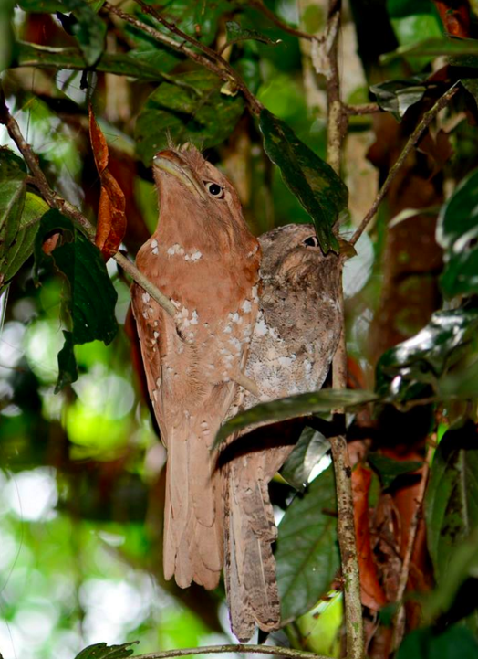 Srilankan Frogmouth Pair by Puneet Dhar - La Paz Group