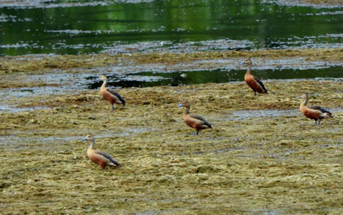 Lesser Whistling Ducks by Puneet Dhar - La Paz Group