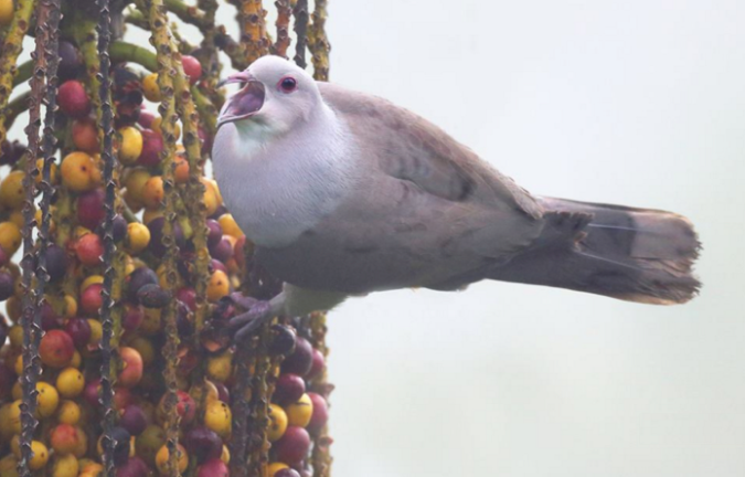 Mountain Imperial Pigeon by Gururaj Moorching - La Paz Group