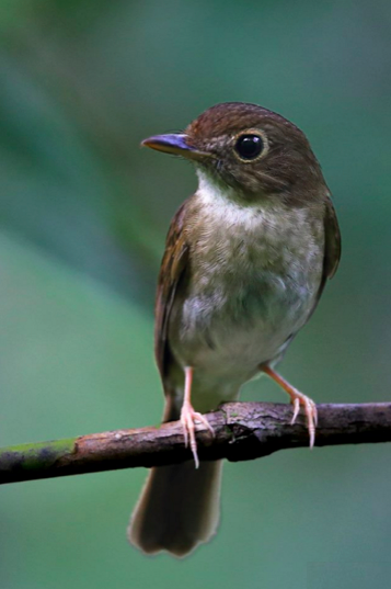 Nicobar Jungle Flycatcher by Gururaj Moorching - La Paz Group
