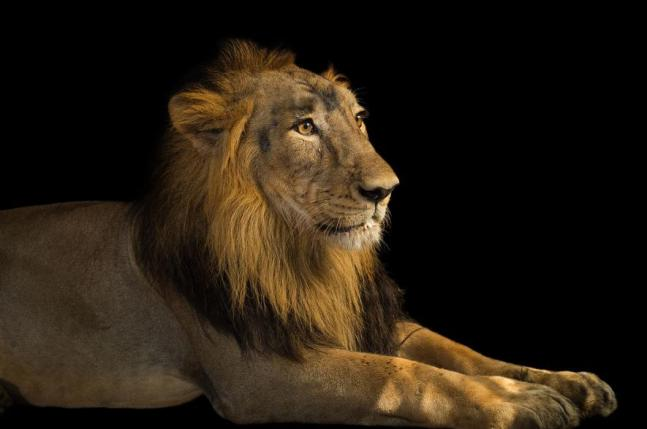 01-asiatic-lion-ngsversion-1470838592918-adapt-885-1