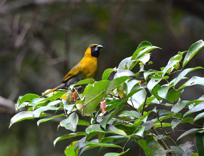 Black-faced Grosbeak by Emil Flota - La Paz Group