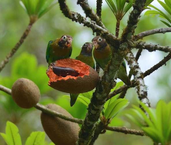 Brown-hooded Parrot by Emil Flota - La Paz Group