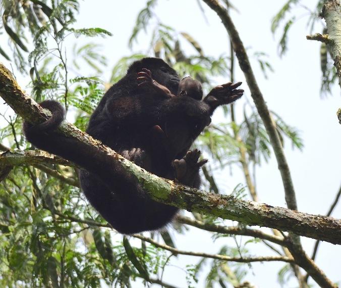 Female howler monkey with newborn by Emil Flota - La Paz Group