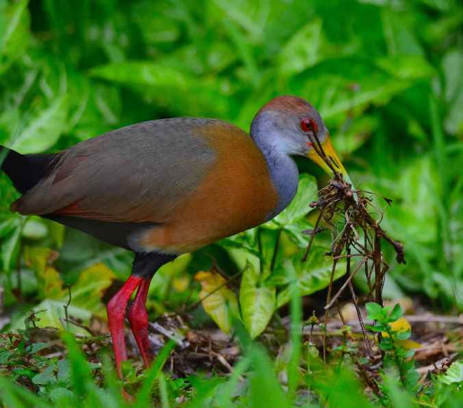 Russet-naped Wood-Rail by Emil Flota - La Paz Group