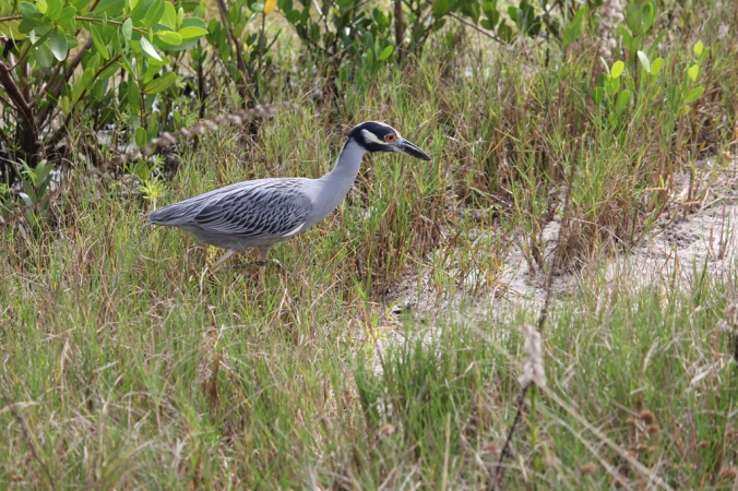 Yellow-crowned Night Heron by Stephen Crafts - La Paz Group