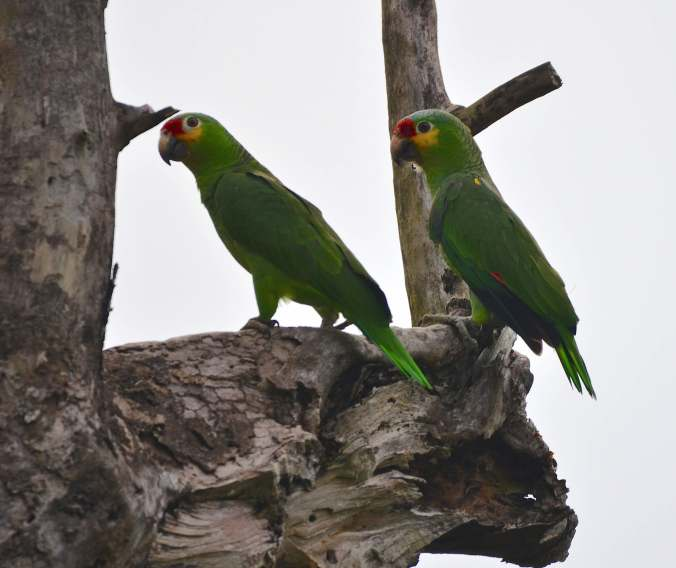 Red-lored Parrots by Emil Flota - La Paz Group