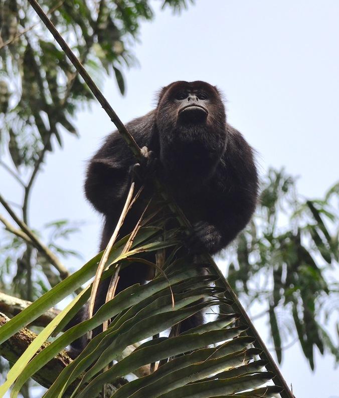 Male howler monkey by Emil Flota - La Paz Group