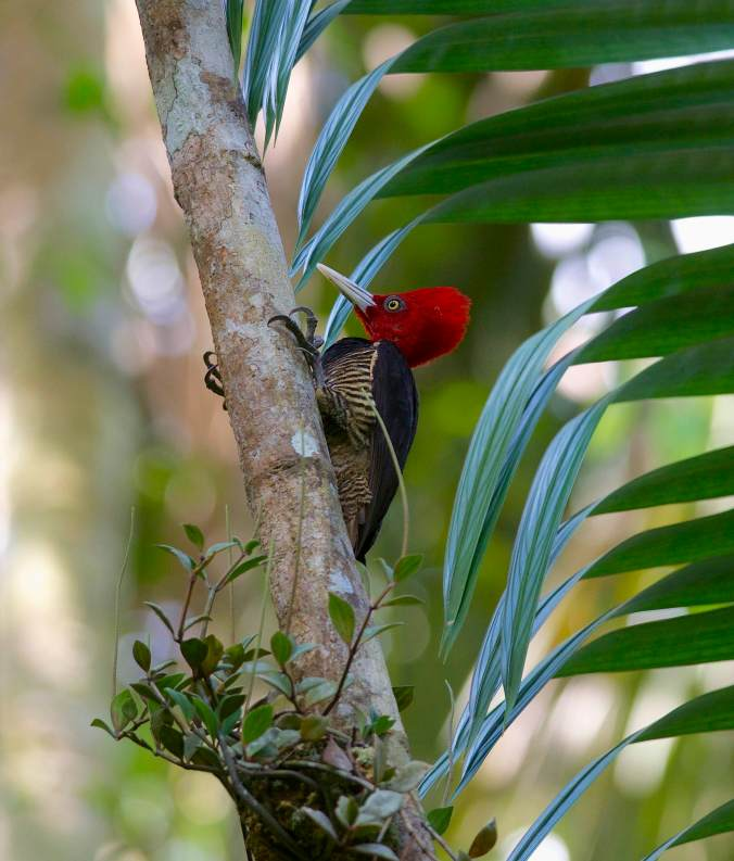 Pale-billed Woodpecker by Emil Flota - La Paz Group