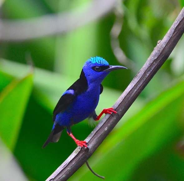 Red-legged Honey Creeper by Emil Flota - La Paz Group