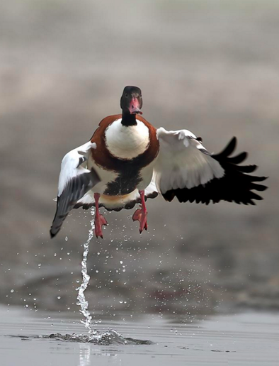 Common Shelduck by Gururaj Moorching - La Paz Group