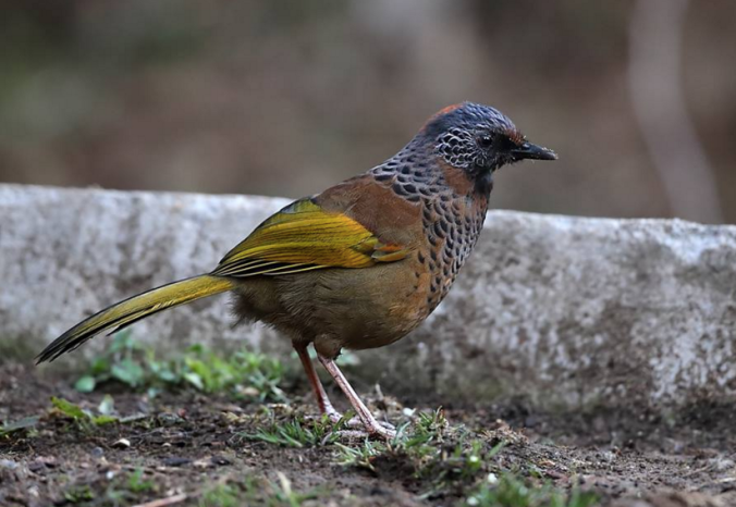 Chestnut-crowned Laughingthrush by Gururaj Moorching - La Paz Group