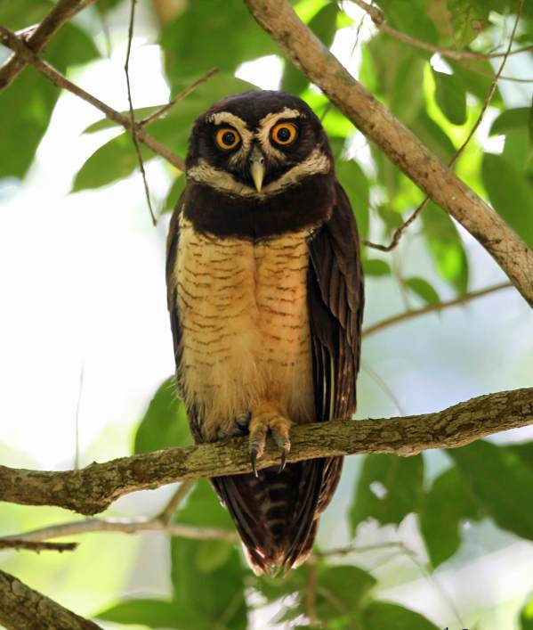 Spectacled Owl by Emil Flota - La Paz Group