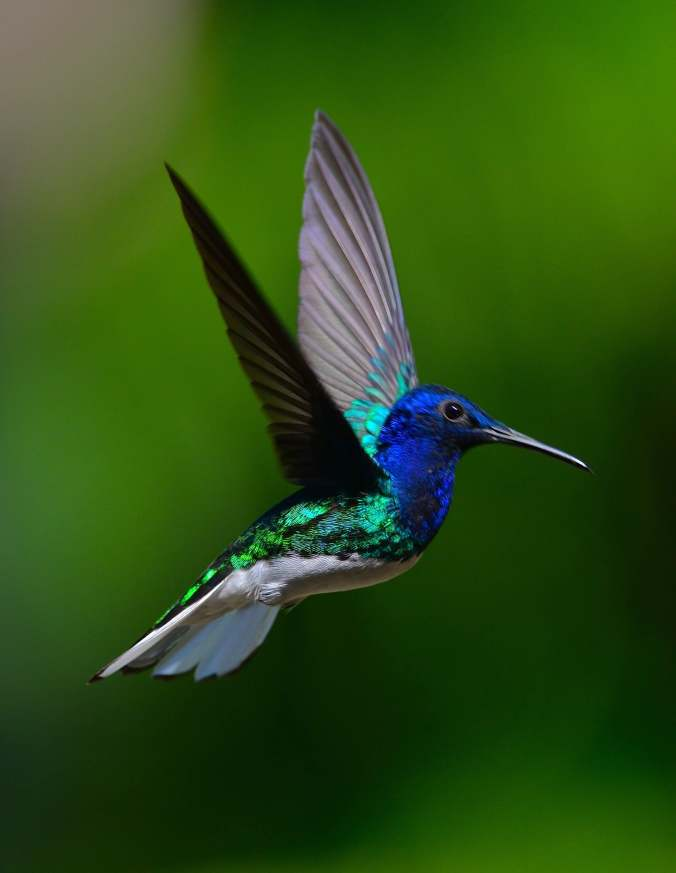 White-necked Jacobin by Emil Flota - La Paz Group