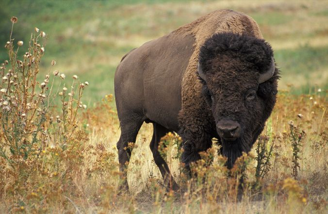 1200px-american_bison_k5680-1