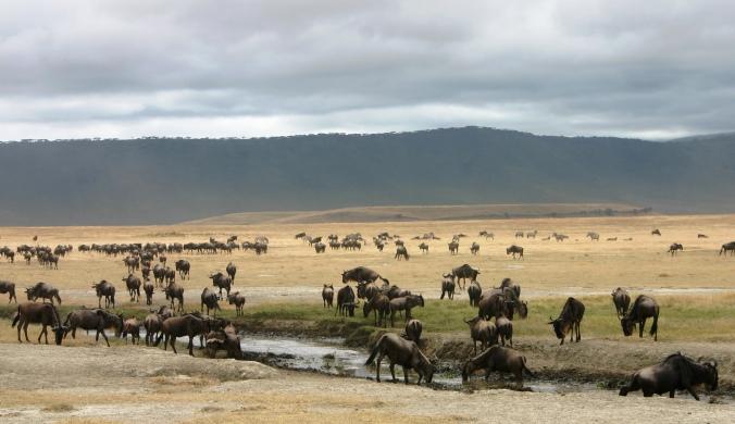 ngorongoro-wildebeest-12