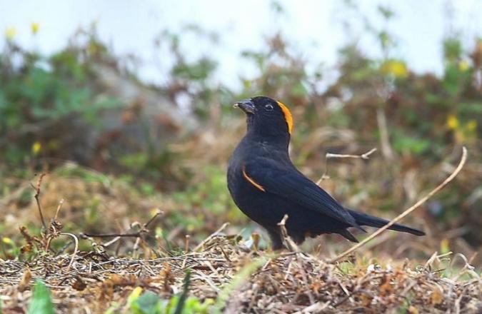 Gold-naped Finch by Gururaj Moorching - La Paz Group