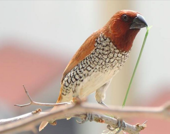 Scaly-breasted Munia by Puneet Dhar - La Paz Group