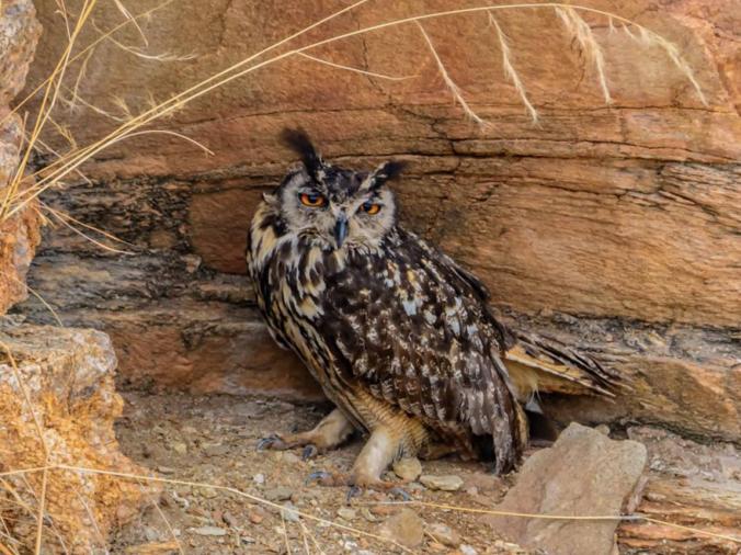 Eurasian Eagle-Owl by Ramesh Desai - La Paz Group