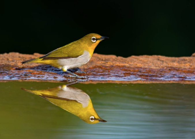 Oriental White-eye by Ramesh Desai - La Paz Group